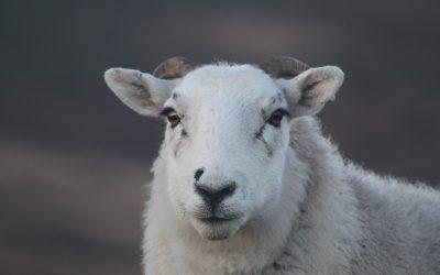 Pászahi bárány